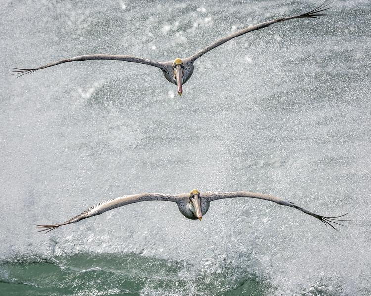 -_Brown Pelican  2014-12-24_030 BigSur.jpg