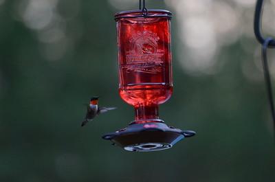 2017.06.21 Hummingbirds