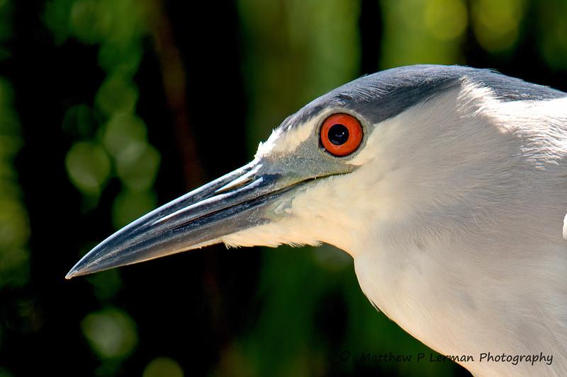 440 Black Crowned Night Heron 2081.jpg