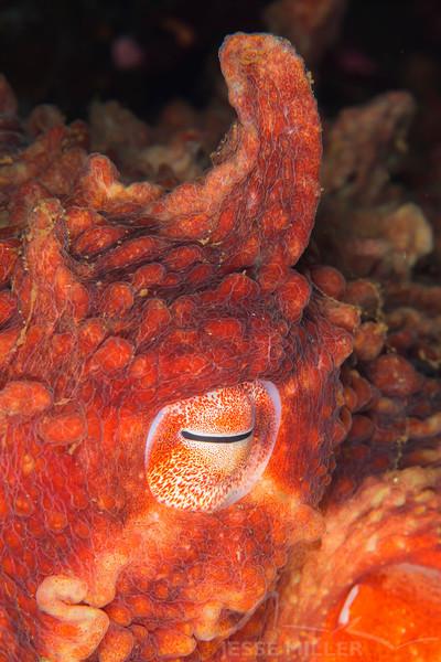 Giant Pacific Octopus - Sunrise Beach Park in Gig Harbor, Washington