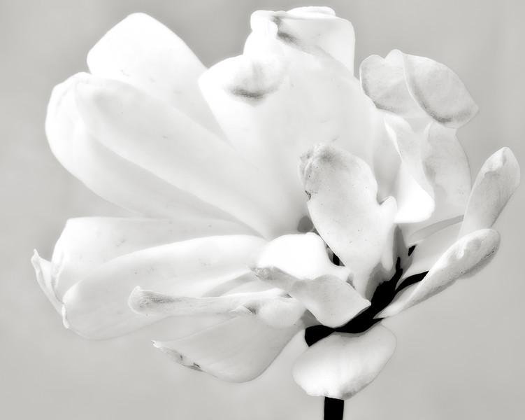 star-magnolia-03.jpg