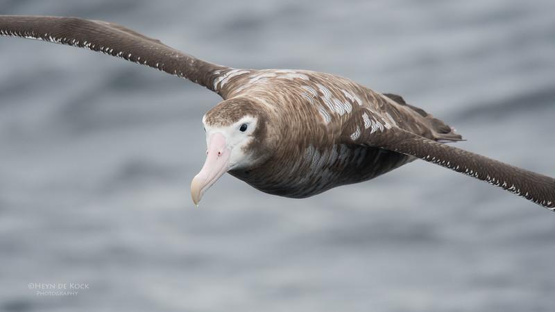 Wandering Albatross, Eaglehawk Neck Pelagic, TAS, Sept 2016-6.jpg