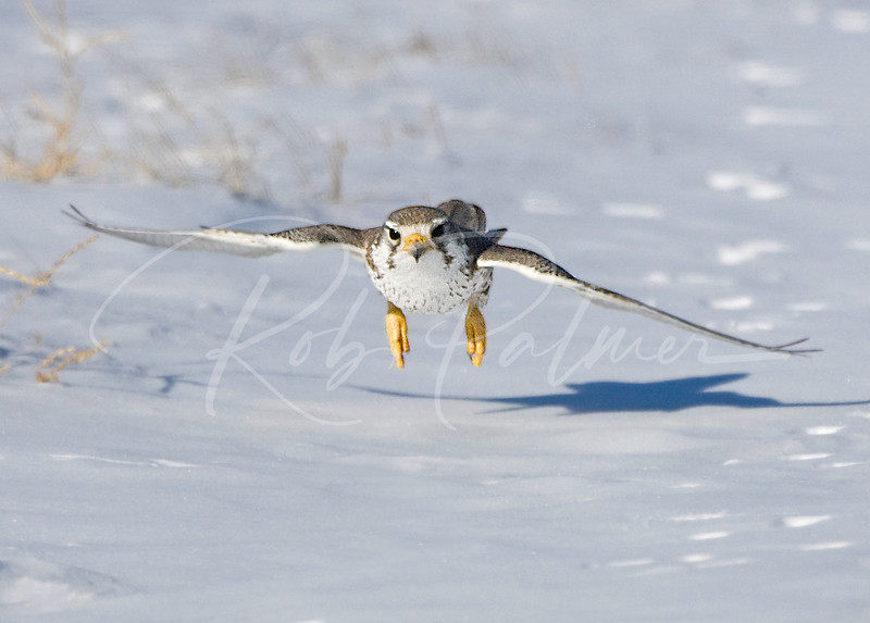 Prairie Falcon in Pursuit
