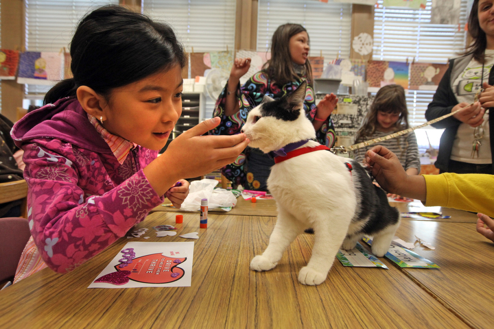 """. Carol Chung takes a break from making a valentine for a shelter animal to pet Larry, one of the shelter animals from the East Bay SPCA in her  2nd/3rd grade class at Joaquin Miller Elementary School in Oakland, Calif. on Feb. 15, 2013. Anya Pamplona, a Humane Advocate, brought Larry and Ziti, a whippet from the P.A.L.S. program to visit the class as part of the \""""Drive to Thrive\"""" program. (Laura A. Oda/Staff)"""