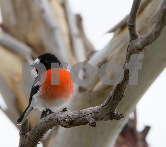 Red Robin ag.JPG