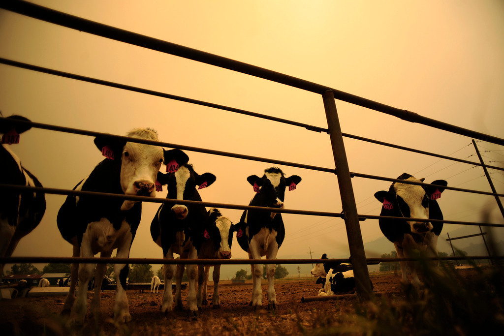 . Cows stand in a a pen near County Road 54e as the High Park fire burns on Sunday, June 17, 2012. High winds caused smoke to blow eastward into Fort Collins and the surrounding area. AAron Ontiveroz, The Denver Post