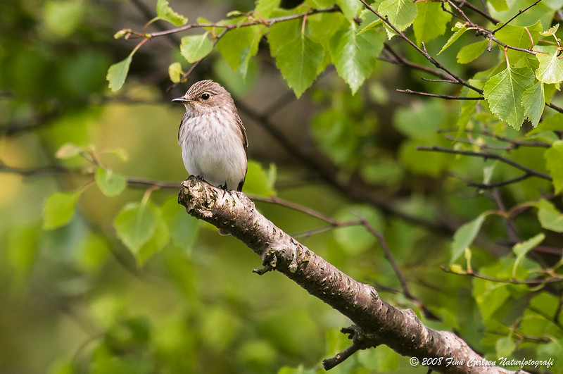 Grå fluesnapper - Muscicapa striata - Spotted flycatcher