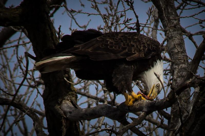 Eagle eating-7027.jpg