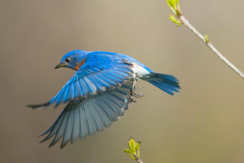 BlueBird_4840.jpg