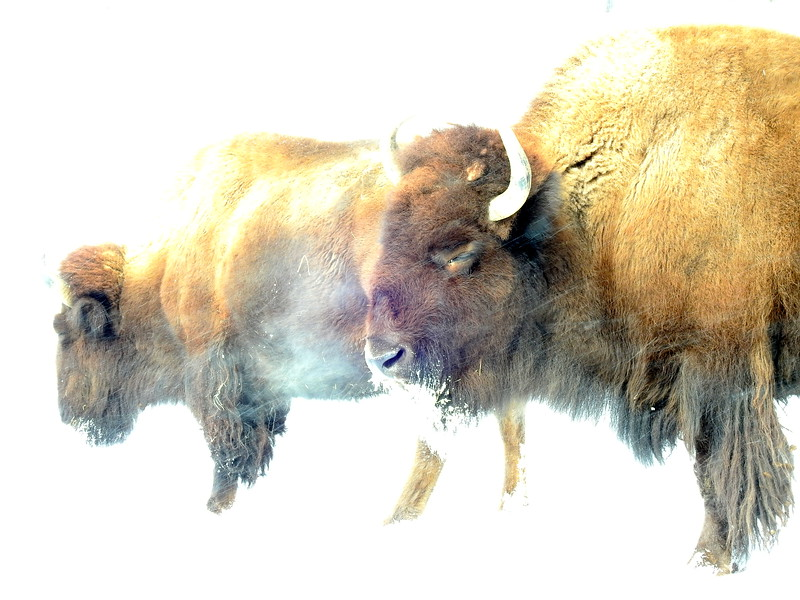 Buffalo (22).JPG