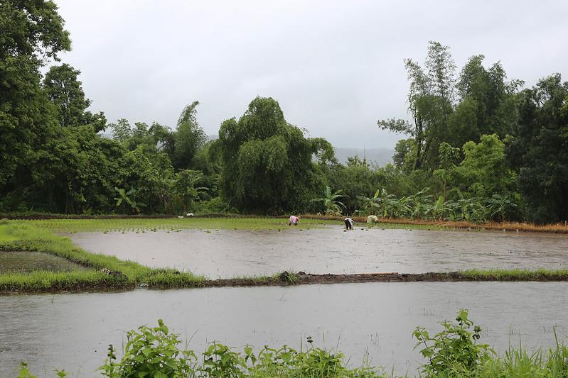 IMG_2678_rice_planting__Pah_Tao_1800x2700.jpg