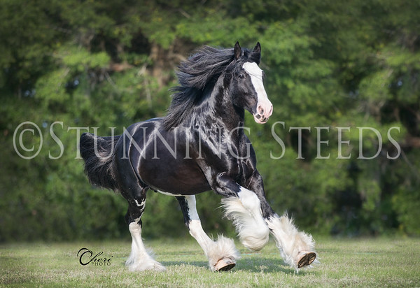 SterlingShire Stables - Black Forest Ideal Moonshadow (stallion)