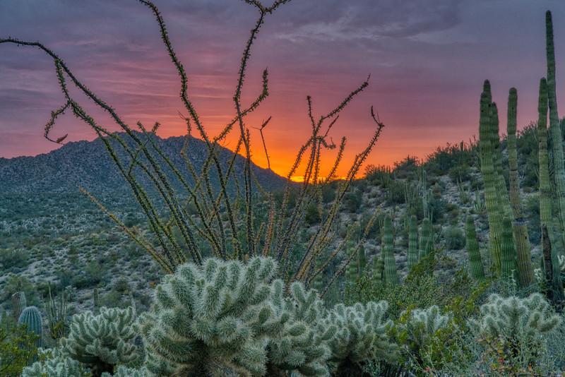 Organ Pipe Cactus 2020-5.jpg