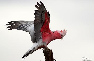 Parrots  (Psittaciformes)