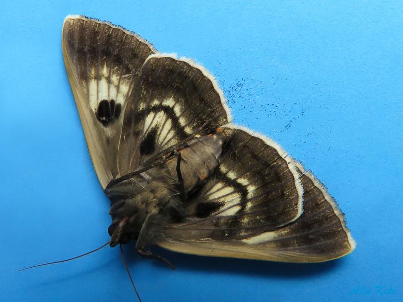 Donuca rubropicta Butler, 1874 (Erebidae)