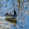 American Coot, Green Cay Wetlands