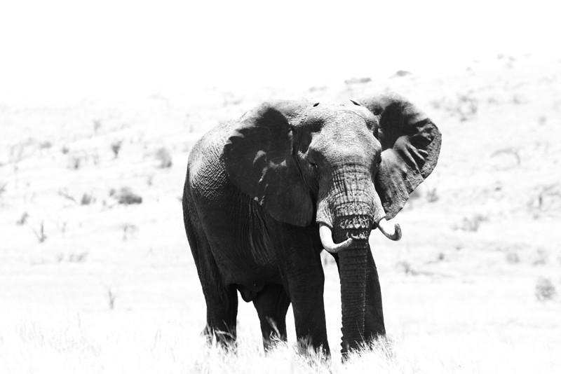 Elephant, Lewa.