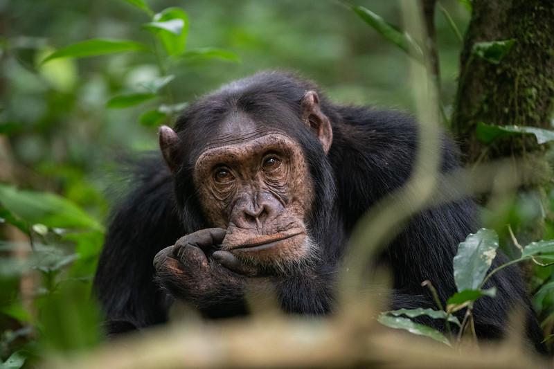 Uganda_T_Chimps-645.jpg