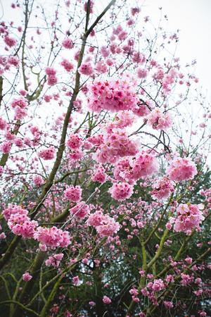2019 Cherry Blossom Festival at South Coast Botanic Garden