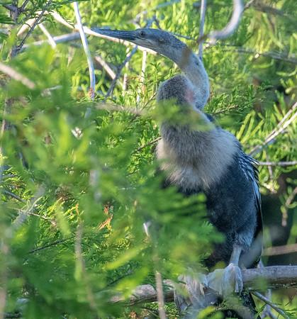 Female Anhinga, perching