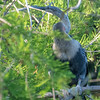 Female Anhinga, perching