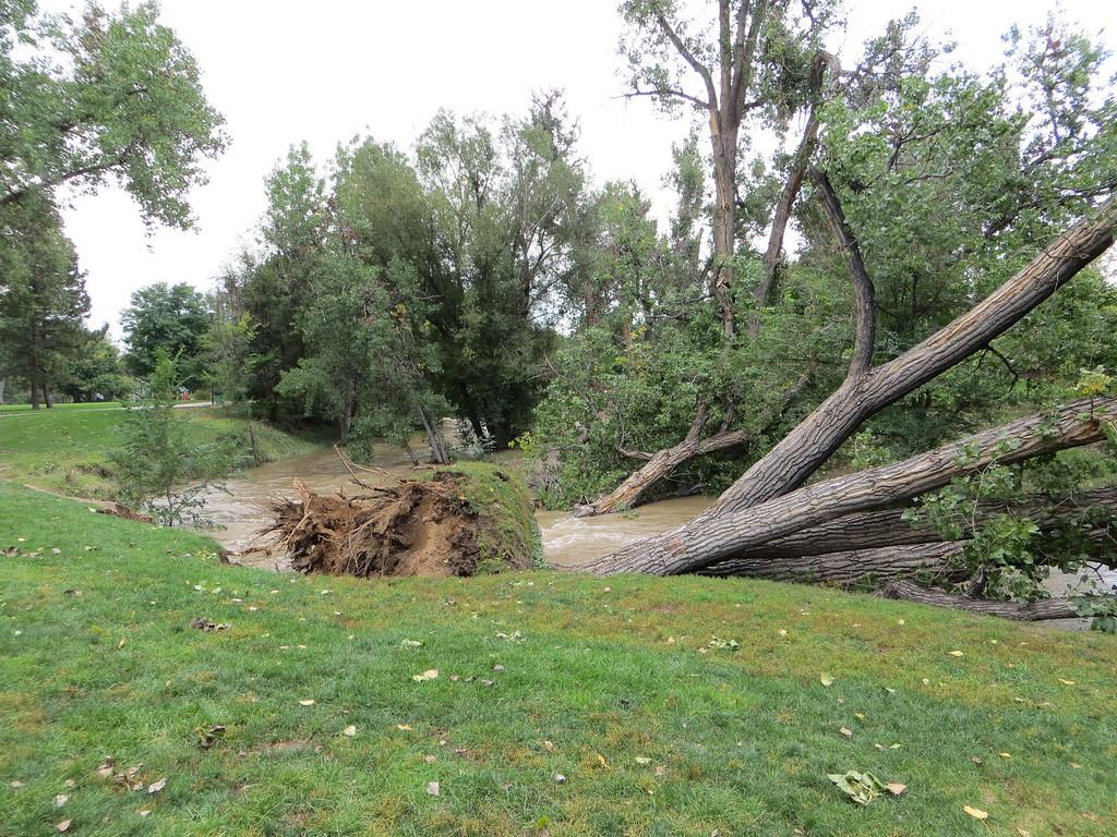 . Trees down in Ralston Creek. Photo by Chuck Marcinkiewicz