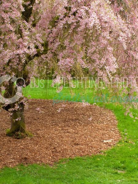 Cherry Blossoms_batch_batch.jpg