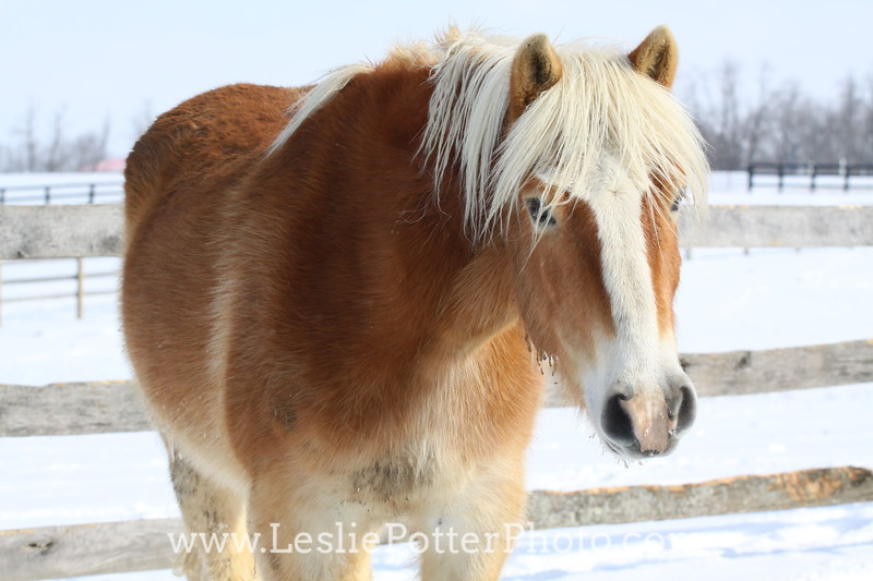 Haflinger Horse in the Snow