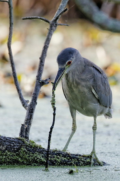 Black-crowned Night heron grabbing a branch with its beak