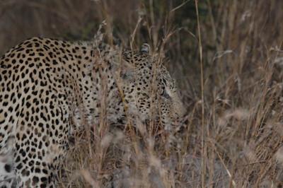 7-13-2015 2 Leopards, 2 Hyenas, 1 waterbuck