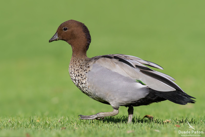 Australian Wood Duck - Male