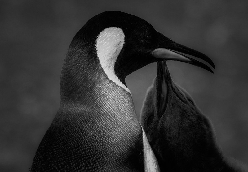 King penguin with chick, Volunteer Point, Falkland Islands