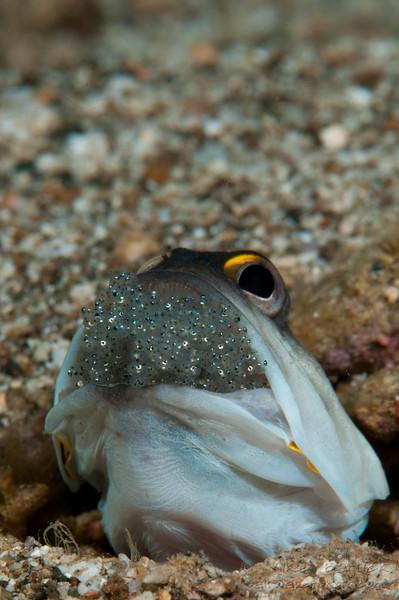 Jawfish 1-4300.jpg