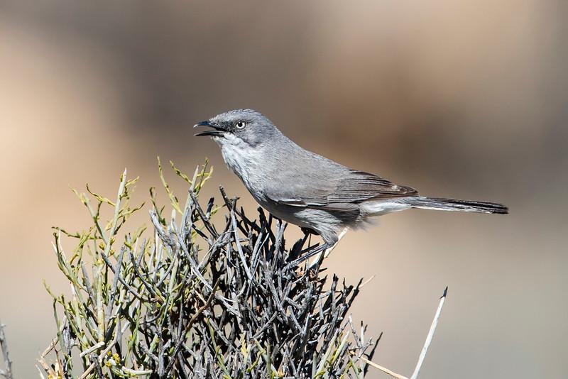 Layard's Warbler