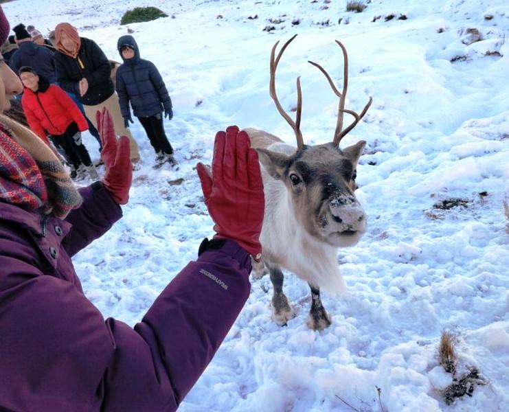 Scotland's Wild Reindeer