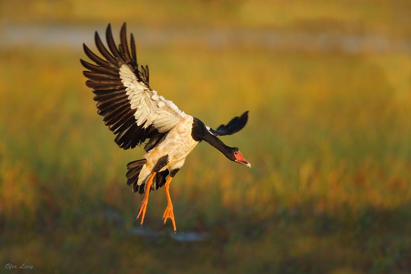 Magpie Goose 1.jpg