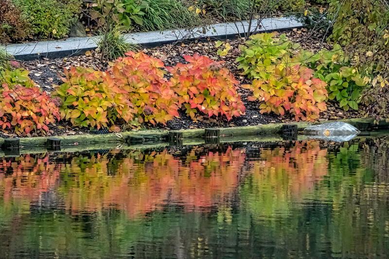 D301-2019 Hydrangea growing between the path and the lake, showing a range of autumn colors  Japanese Garden Frederik Meijer Gardens, Grand Rapids, Michigan Taken October 28, 2019