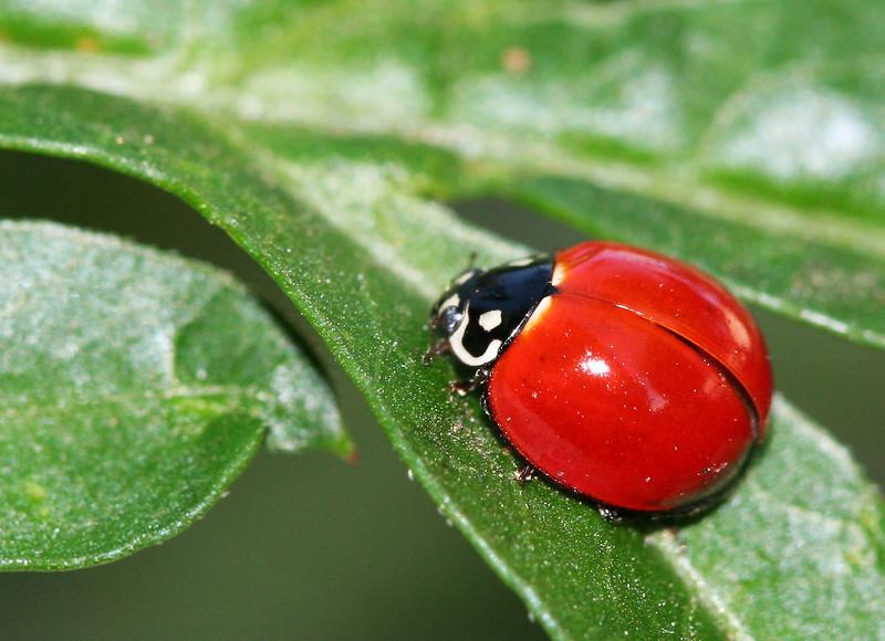 2192 Ladybug.jpg