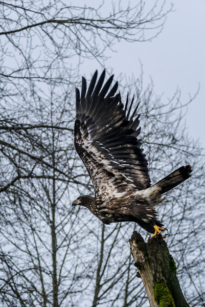 Skagit River Eagle's
