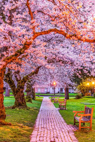 UW Cherry Blossoms 2021.jpg