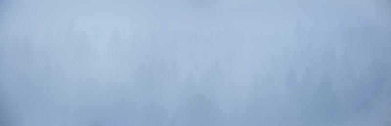 Pine forest in fog, Grand Teton National Park