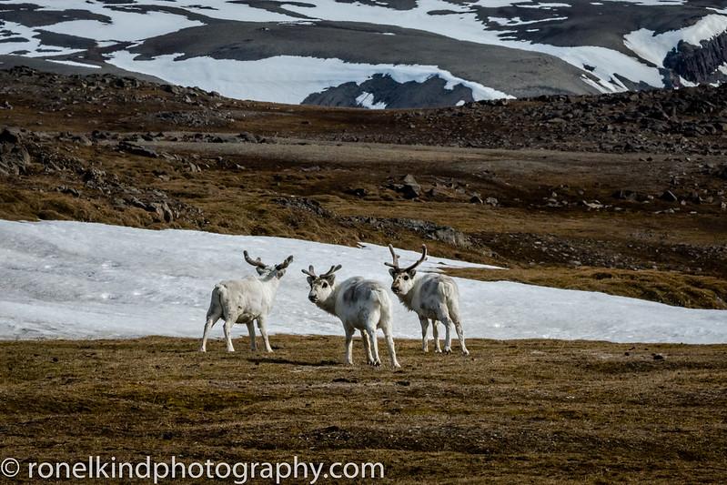 Doleritt Point Island Svalbard Reindeer