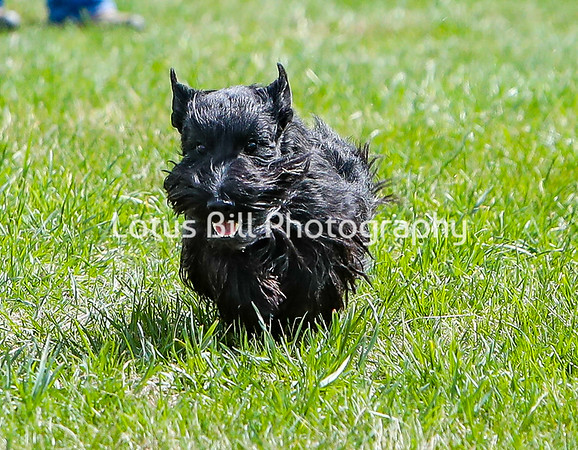 Scottie Terrier DH
