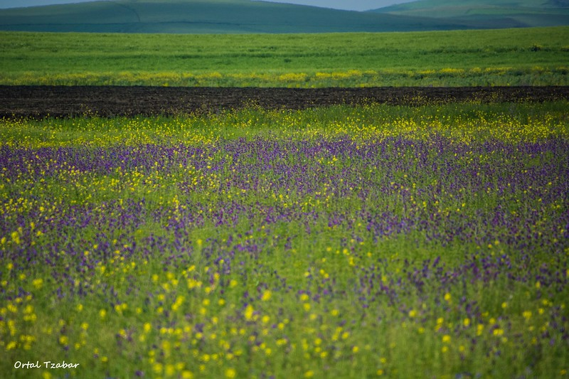 שדה לבנדר1.jpg
