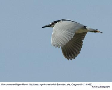 Black-CrownedNight-Heron A9820.jpg