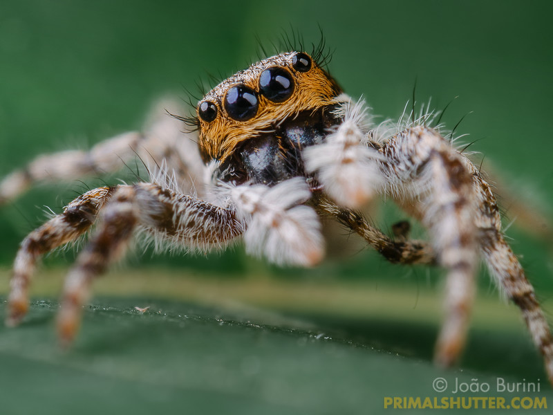Portrait of a white jumping spider with focus on it's eyes