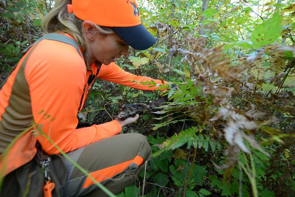 . Meadow Kouffeld-Hansen, regional biologist with the Ruffed Grouse Society, thanks Meine, her 4-year-old Deutsche Drahthaar, after the dog retrieved a woodcock Kouffeld-Hansen shot in Itasca County in northern Minnesota Saturday, Sept. 19, 2015, opening day for grouse and woodcock hunting in Minnesota.(Pioneer Press: Dave Orrick)