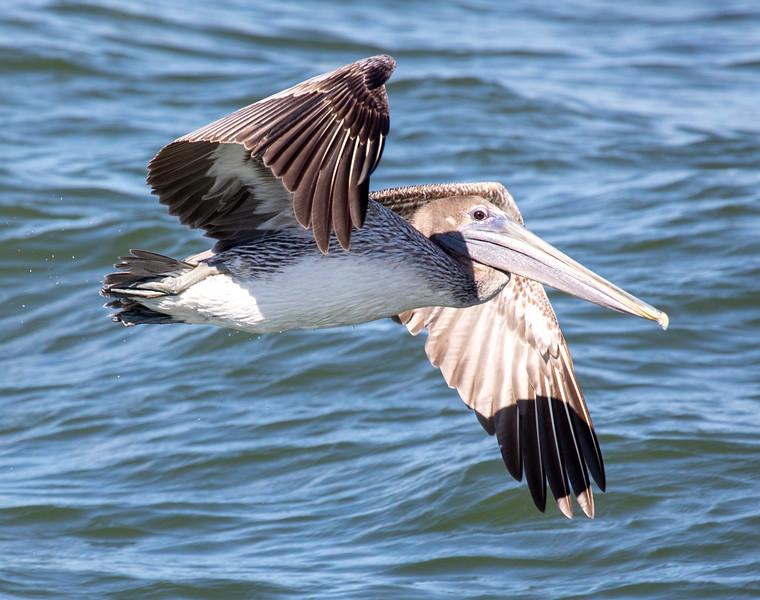 Brown-Pelican-5.jpg