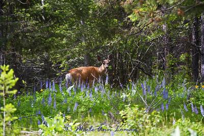 Mule deer fawn June 2011