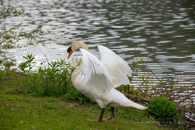 mute swan signed-9.JPG
